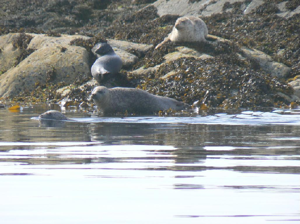 Seal watching on Isle of Harris (Beachview Cottages)